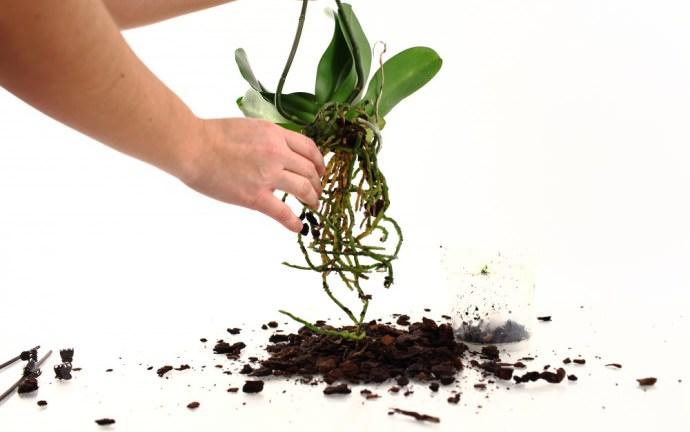 Не менее популярным способом размножения комнатных орхидей является деление корня